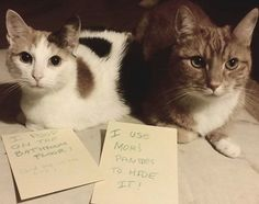"""The Complete Animal Edition Of """"Partners In Crime"""" - World's largest collection of cat memes and other animals Funny Animal Memes, Funny Cat Videos, Cat Memes, Funny Animals, Cute Animals, Wild Animals, Crazy Cat Lady, Crazy Cats, Funny Cute"""