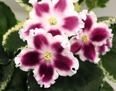 AFRICAN VIOLET PLANT LE CAROUSEL~BRIGHT RED WITH WIDE WHITE EDGES