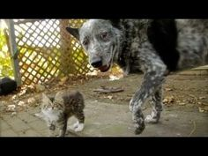 Video Dog Befriends Disabled Kitten - Cats Funny