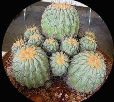 Copiapoa hypogaea var. barquitensis ile ilgili görsel sonucu