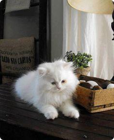 chaton blanc persan
