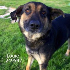 08/10/15-Meet LOUIE, a Petfinder adoptable German Shepherd Dog Dog | Conroe, TX | Petfinder.com is the world's largest database of adoptable pets and pet care information....