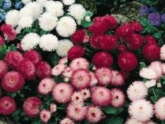 Bellis Perennis is also known as English Daisy. Bellis Flower seed creates a low growing and densely clustered daisy-like flowers. Gerbera, Flowers Perennials, Planting Flowers, Zone 4 Perennials, My Flower, Flower Power, Flower Colors, Flower Patch, Bellis Perennis