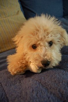 Cool Poodle Dog images - http://www.7tv.net/cool-poodle-dog-images-2/