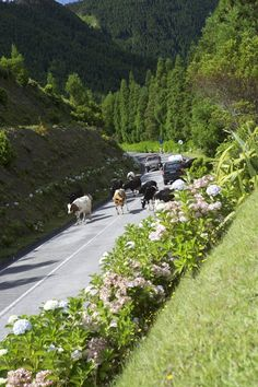 I love how you run into cattle while driving down a street! Sao Miguel Azores