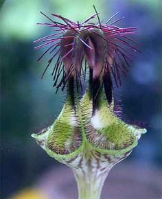 Ceropegia denticulata by hildor, Order: Gentianales. Weird Plants, Unusual Plants, Rare Plants, Exotic Plants, Cool Plants, Strange Flowers, Unusual Flowers, Rare Flowers, Amazing Flowers