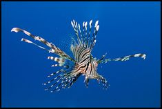 lionfish with a blue background,
