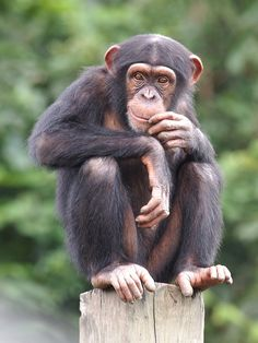 It's hard to believe that chimpanzees share nearly of our DNA. Afrique Art, Pet Monkey, Orangutan, Baby Chimpanzee, Baboon, African Animals, Funny Animal Pictures, Cute Baby Animals, Pet Portraits