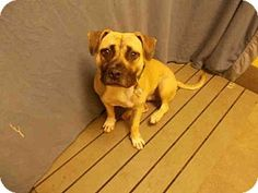 Upper Marlboro, MD - Mastiff Mix. Meet DIAMOND, a dog for adoption. http://www.adoptapet.com/pet/16756174-upper-marlboro-maryland-mastiff-mix