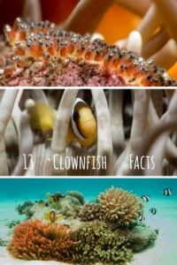 """Clownfish got famous through the movie """"Finding Nemo"""" and every scuba diver loves them. Learn more about these cute, but weird creatures - clownfish facts Clownfish, Underwater Creatures, Weird Creatures, Marine Life, More Fun, Facts, Scuba Diving, Cute, Girls"""