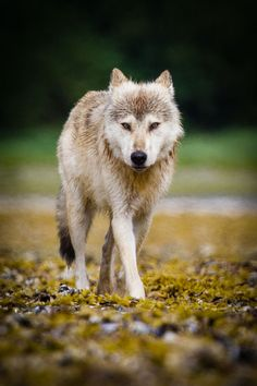 What Are You Wolf Pictures Animals Grey Wolf