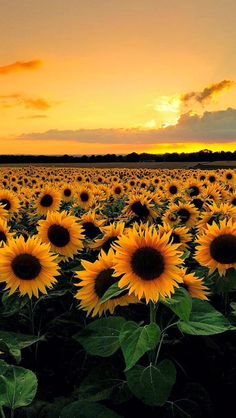 gelbe Sonnenblumen und Himmel – Bilder – … yellow sunflowers and sky – Pictures – …, Sunflower Fields, Yellow Sunflower, Field Of Sunflowers, Sunflower Garden, Sunflowers Tumblr, Sunflower Flower, Paintings Of Sunflowers, Sunflower Black And White, Wild Sunflower