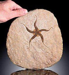 Fósil de estrella de mar. Www.geologyin.com