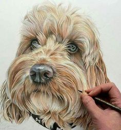By British Artist Angie Colored Pencil Portrait, Color Pencil Art, Animal Paintings, Animal Drawings, Art Drawings, Drawings Of Dogs, Pencil Drawings, Crayons Pastel, Australian Labradoodle