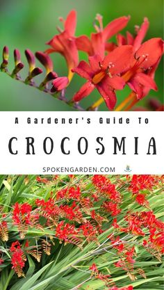 Crocosmia are loved by pollinators for their nectar and gardeners for their ease of maintenance. Learn Crocosmia care, crocosmia landscaping ideas, and more in this plant profile! #plantprofile #crocosmia #crocosmiacare #crocosmialucifer #cottagegarden #flowers #spokengarden