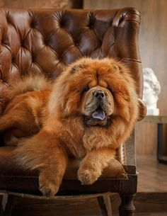 Chow Chow - The Complete Guide to an Increasingly Popular Pup Chow Dog Breed, Chow Chow Dogs, Cute Dogs Breeds, Dog Breeds, Tibetan Mastiff Dog, Chinese Dog, Super Cute Puppies, Dog Language, Guide Dog