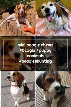 mini beagle chews #beagle #puppy #animals #beagleshunting Mini Beagle, Beagle Puppy, Adoptable Beagle, Hunting, Puppies, Dogs, Animals, Cubs, Animales