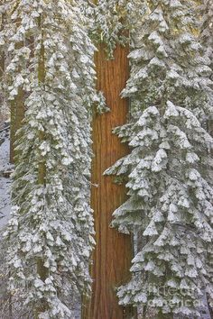 00431217 Poster featuring the photograph Giant Sequoias And Snow by Yva Momatiuk John Eastcott Woodland Forest, Pine Forest, Sequoia Sempervirens, Giant Sequoia Trees, Enchanted Wood, Forest Floor, Thing 1, Winter Wonder, All Poster