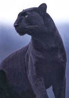 Panther.  #animal #wildlife #wildanimal #cat #bigcat #panther