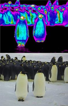 Emperor penguins (Aptenodytes forsteri) are famous for their dapper outerwear, but that feather coat actually gets colder than the surrounding frigid air, according to a study published online today in Biology Letters.