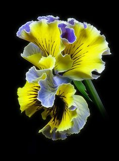frilly pansies | via flickr