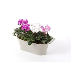Cyclamen Collection: Three mini cyclamen plants presented in a pretty coloured trough. Would make a lovely table or window sill display. The picture shows spring plants/bulbs. During summer, autumn and winter months a selection of seasonal plants will be made by us. #flowers #florist #Cheltenham