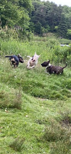English Bull, Bull Terriers, Bullies, Best Dogs, Cute Dogs, Adventure, Friends, Animals, Dogs