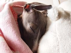 ~ Peaceful Italian Greyhound~I love nap pictures.  If I see Bella asleep, I HAVE to take her picture!