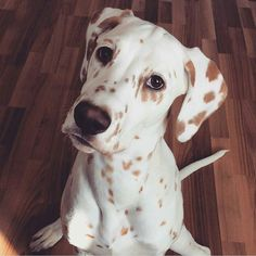 Welcome to Instagram! We have a great little collection of lemon spotted dalmatians here! You'll fit right in! Credit to @fantadalmatian by dalmatians_of_instagram #lacyandpaws