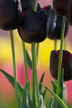I want to plant black tulips. So beautiful Dark Flowers, Types Of Flowers, My Flower, Pretty Flowers, Black Tulips, Purple Tulips, Tulips Flowers, Roses, Tulips Garden