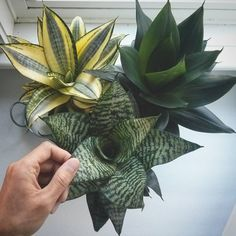 October 2015 - Good morning my sansevieria Hahnii plants! They're getting ready for the shorter days - I'm watering them less…