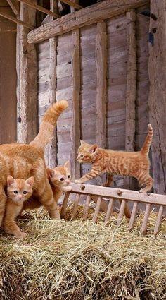 Barn kitties...oh the orange-ness!