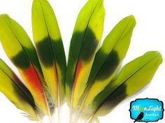 VERY RARE. LIMITED TO SUPPLIES ON-HAND. This listing is for 4 pieces of naturally molted multi-colored Amazon parrot wing feathers . They are small bird so the wing feathers range from 4-6 inches long. You will find the feathers to be lime and green and hint of red on some of the feathers on the side of the feather. These feathers are very rare because only a very small part of the wing feathers has these bright colors on it.    These are medium-size parrots native to the New World ranging…