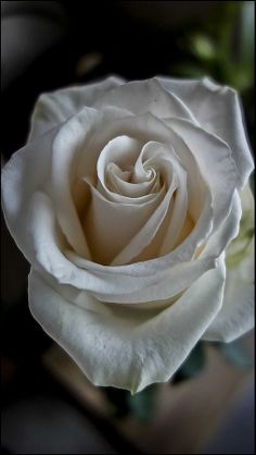 """""""Vendella"""", Beautiful white rose!!  Single or as a long stemmed bouquet...gorgeous!!"""