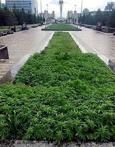 THOUSANDS of pot plants 'accidentally' planted on city center flowerbeds | Dangerous Minds