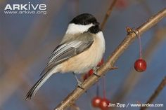 The black-capped chickadee (Parus atricapillus) is a distinctive species, in terms of both its shape and colour. This species appears rather spherical as a result of its somewhat over-sized round...