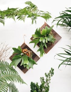 These rustic plaques feature a beautiful Staghorn fern mounted to a diamond-shaped cedar board with sphagnum moss. Staghorn ferns get their name from the large, bifurcated, antler-like fronds that sho