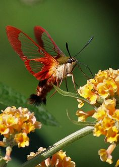 pollinating Hummingbird Clearwing moth, English Gardens, Winnipeg, Canada