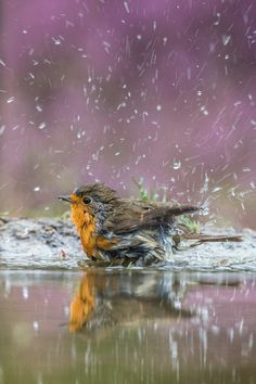 This robin was taking a bath in a rented hide with blooming heather in the background. Of course the droplets add some spark to this shot.