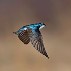 Mr. Iridescent by John Heino on Capture Wisconsin. Tree swallows are among my favorite birds, but they pose a challenge to photograph in flight--a gonzo ballet of erratic swoops.