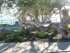 The Laguna Beach Garden Club, Laguna Beach Beautification Council, and the City of Laguna have collaborated by planting around the magnificent Melaleuca Tree in Heisler Park. Ruben Flores has been on a mission to save this beautiful tree from the many climbers it has been supporting for too many years. Its limbs are damaged, and …