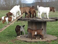 Goat Toys. Would like two of these placed apart with a plank joining them for Wilma to bouce across.