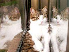M La reproducción y el celo en los gatos