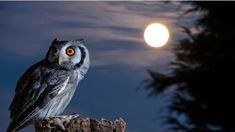 A Quiet Night A Bright Moon Rising Over The Clouds Illuminates The Darkness And A Barred Owl Sits Motionless In The Blue Moonlight Slight hd wallpaper Beautiful Owl, Animals Beautiful, Cute Animals, Owl Bird, Pet Birds, Owl Wallpaper, Owl Moon, Barred Owl, Owl Photos