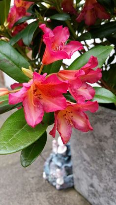 Golden gate rhododendron from Sarah Kay