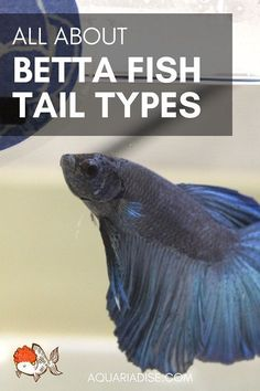 From plakats to veiltails: all about Betta fish tail types! Betta Aquarium, Tropical Fish Aquarium, Fish Aquariums, Betta Fish Types, Betta Fish Care, Terrarium, Shrimp Farming, Class Pet, Aqua Culture