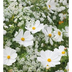 Two of the very best cut flower annuals to fill your borders and vases.