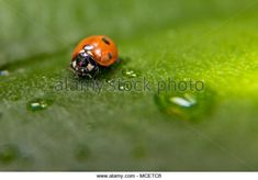 Ladybug surrounded by water drops, on a leaf .