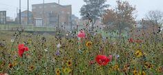 Urban Area flower meadow © Kent Wildlife Trust