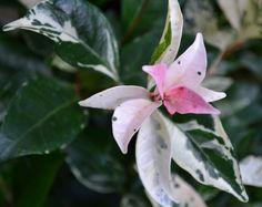 Tri-Colour Jasmine - Trachelospermum
